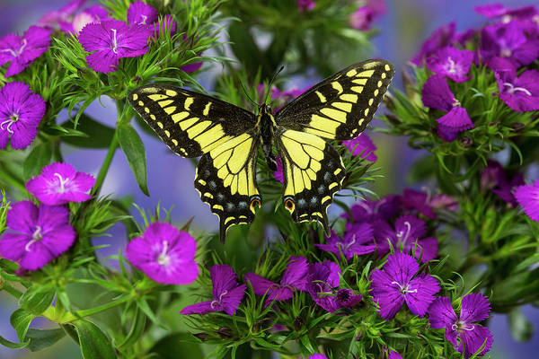 Anise Swallowtail Butterfly, Papilio Poster