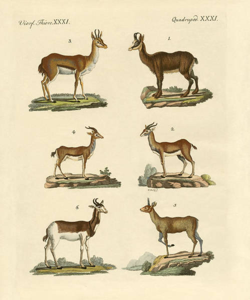 Antelopes And Gazelles Poster