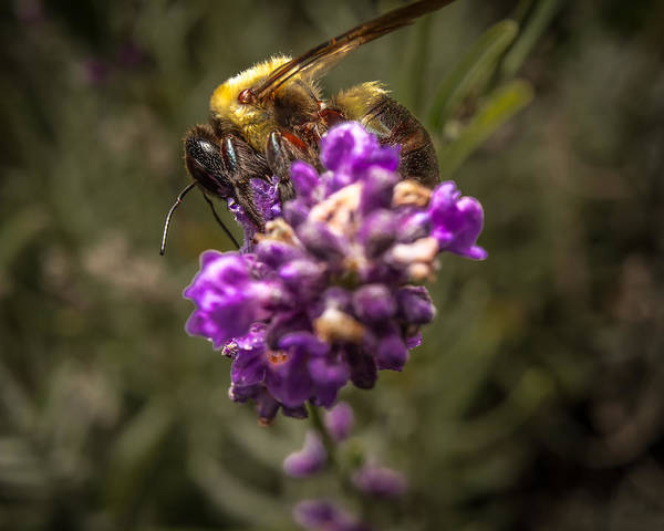 Carpenter Bee On A Lavender Spike Poster