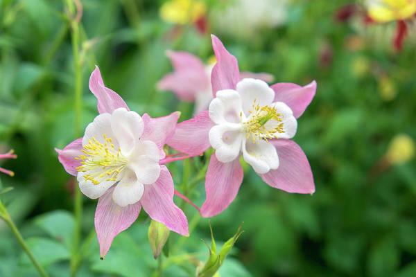 Columbine Flowers, Usa Poster