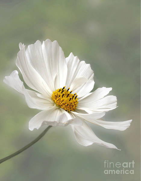 Cosmos Flower In White Poster