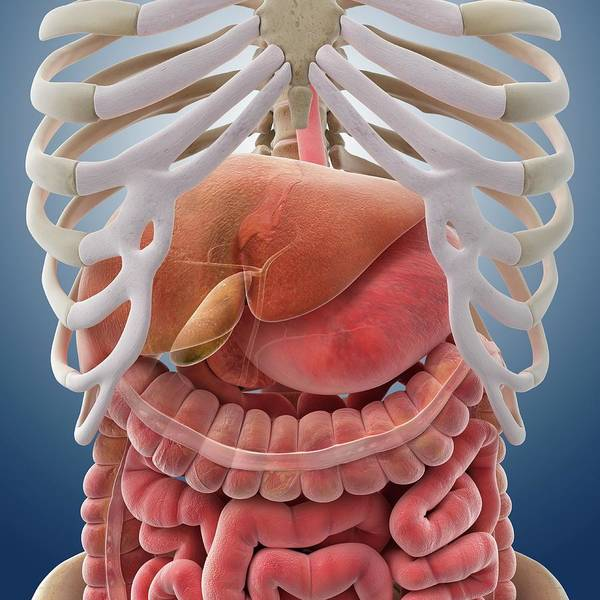 Digestive System Poster