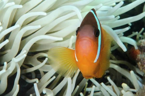 Fiji Anemone Fish (amphiprion Barberi Poster