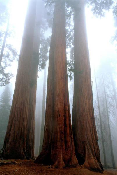 Giant Sequoias Sequoiadendron Giganteum Poster