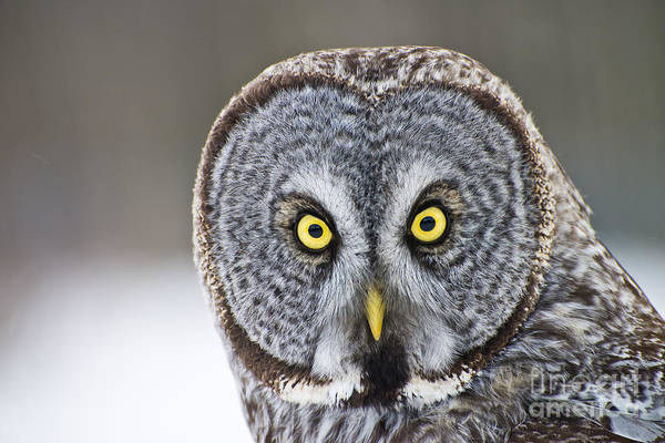 Great Gray Owl Portrait Poster