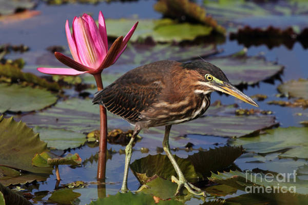 Green Heron Photo Poster