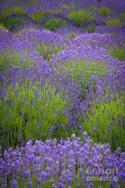 Lavender Study Poster