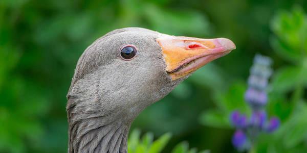 Portrait Of Greylag Goose, Iceland Poster
