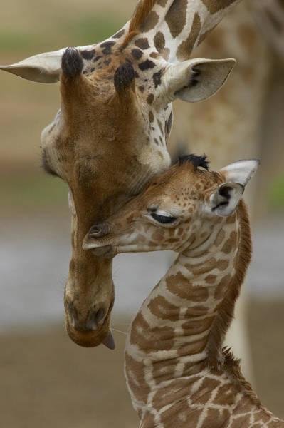 Rothschild Giraffe And Calf Poster