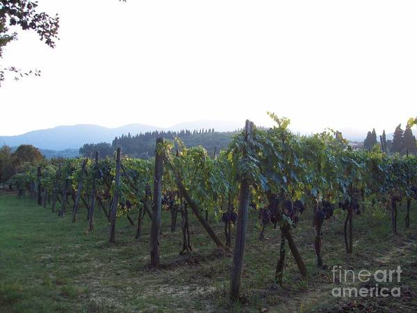 Wine Yards In Loppiano Poster