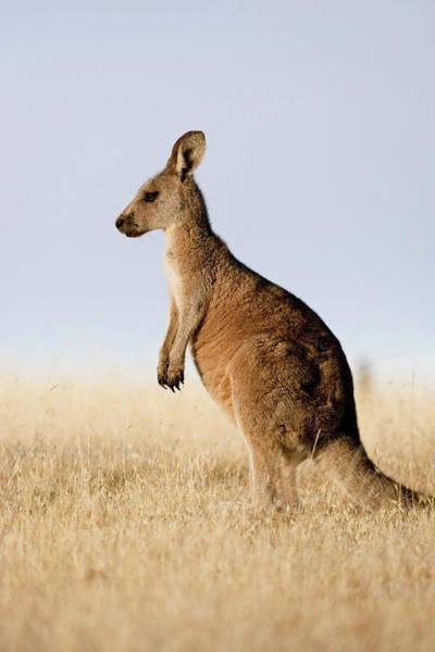 Eastern Grey Kangaroo Or Forester Poster