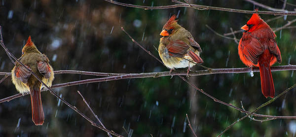 3 Cardinals On A Branch  Poster