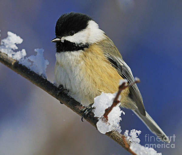 Winter Chickadee... Poster