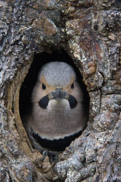 Northern Flicker In Nest Cavity Alaska Poster