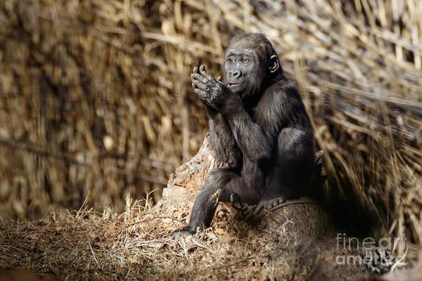Quiet Juvenile Gorilla Poster