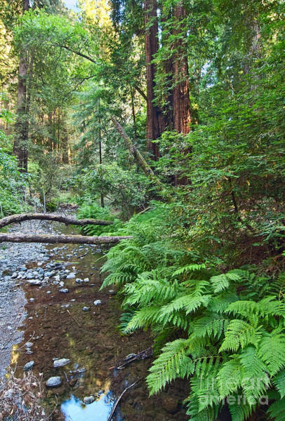 Redwood Forest Of Muir Woods National Monument In San Francisco. Poster