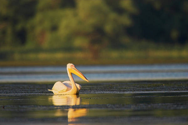 Great White Pelican (pelecanus Poster
