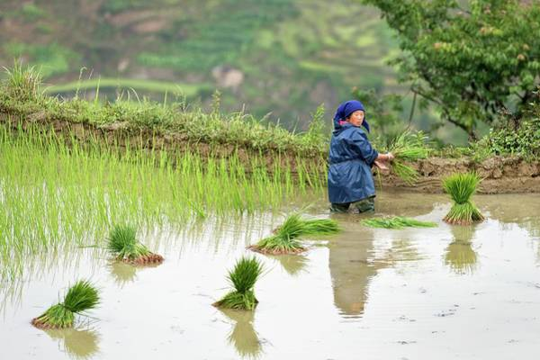 Rice Cultivation In Yunnan Province Poster