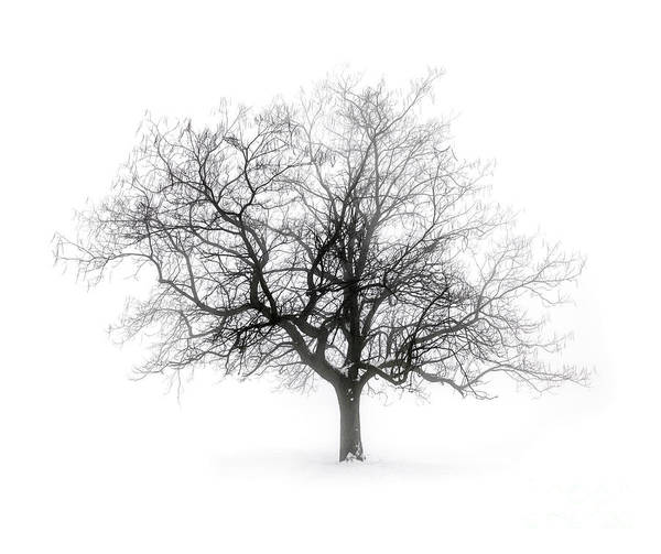 Winter Tree In Fog Poster