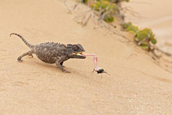 Namaqua Chameleon Catching Prey Poster