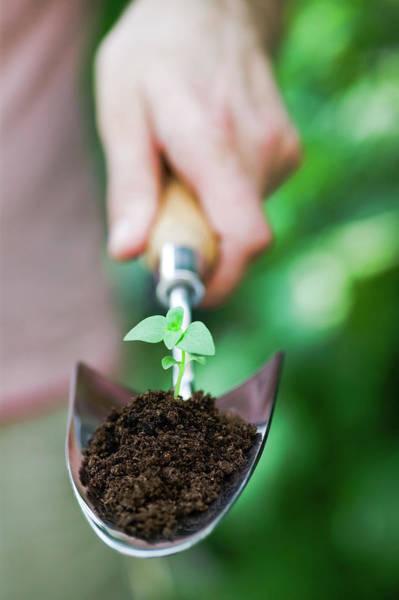 Snapdragon Seedling (antirrhinum Sp.) Poster