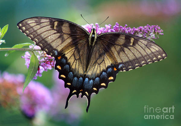 Eastern Tiger Swallowtail Butterfly On Butterfly Bush Poster