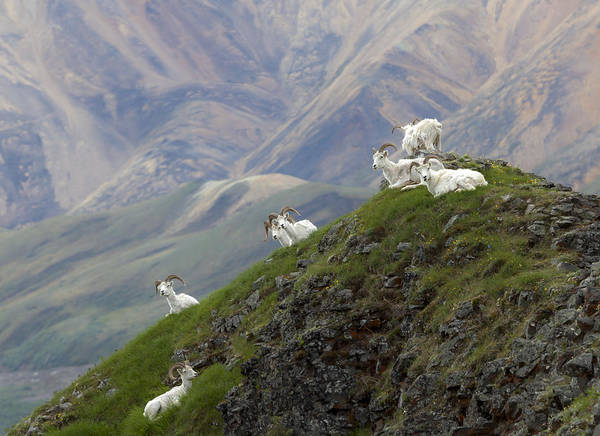 Alaskan Dall Dahl-sheep Image Art  Poster
