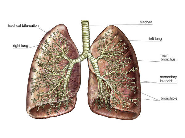 Bronchial Tree Poster