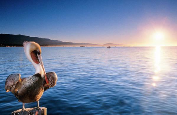 A California Brown Pelican Perches Poster