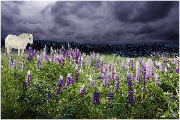 A Childs Dream Among Lupine Poster