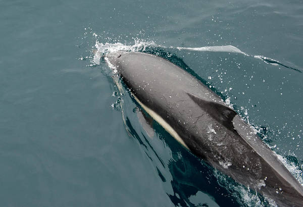 A Common Dolphin Off The Coast Of Santa Poster