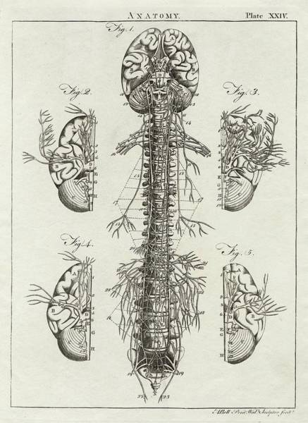 A Diagram Of The Brain And Spinal Poster