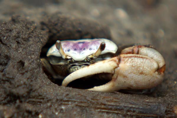 A Fiddler Crab Around Hilton Head Island Poster