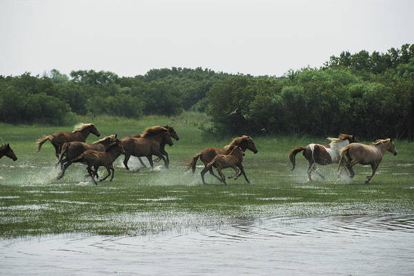 A Herd Of Chincoteague Ponies Thunder Poster