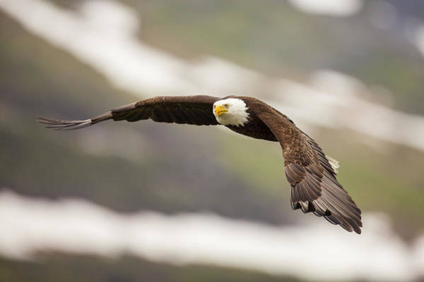 A Mature Bald Eagle In Flight Poster