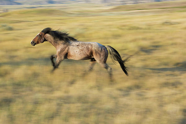 A Mustang Gallops In Theodore Roosevelt Poster