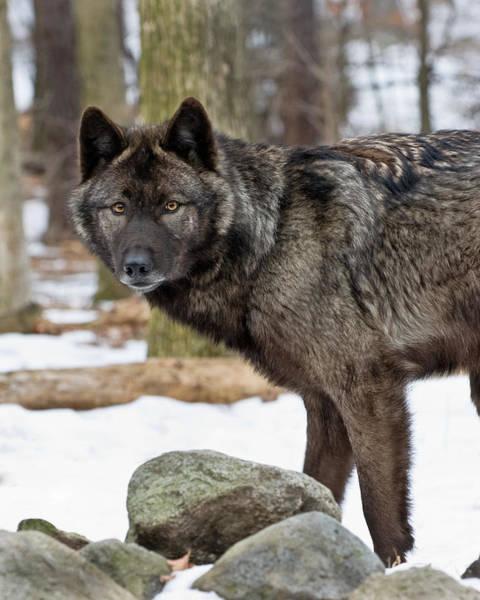 A Wolf's Intense Focus Poster
