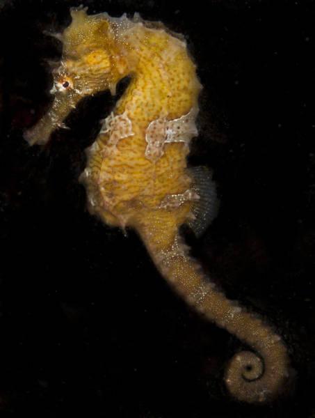 A Yellow Seahorse Poster