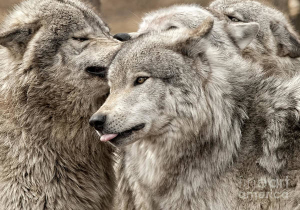 Adult Timber Wolf Poster