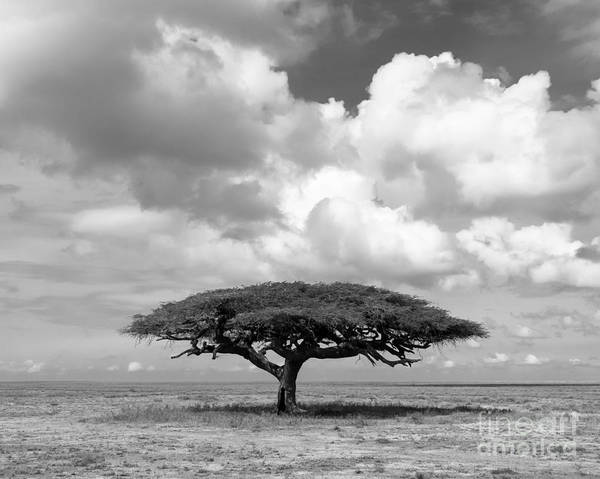 African Acacia Tree Poster