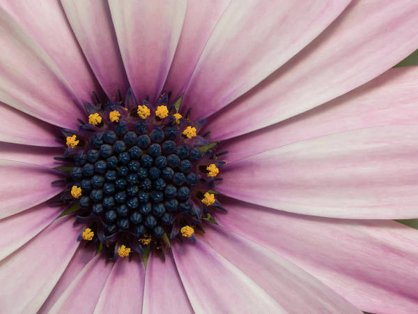 Poster featuring the photograph African Daisy by Vickie Szumigala