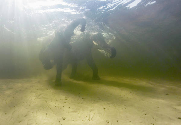 African Elephants Swimming Poster