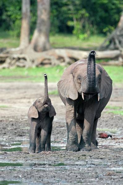 African Forest Elephant And Calf Poster