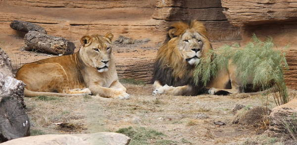 African Lion Couple 2 Poster