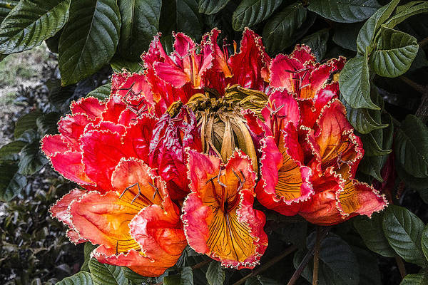 African Tulip Tree Flowers Poster