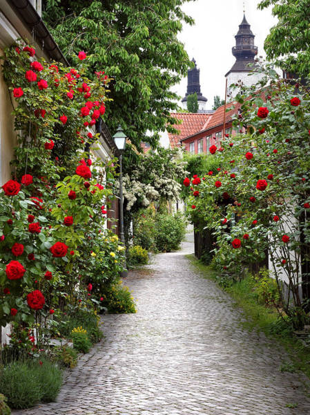 Alley Of Roses Poster