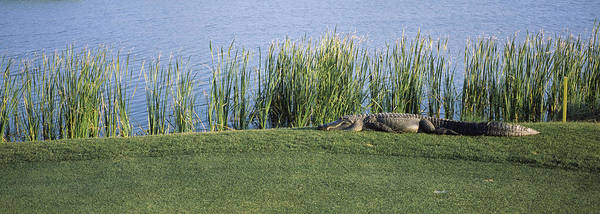 Alligator Resting On A Golf Course Poster