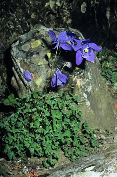Alpine Columbine Flowers Poster