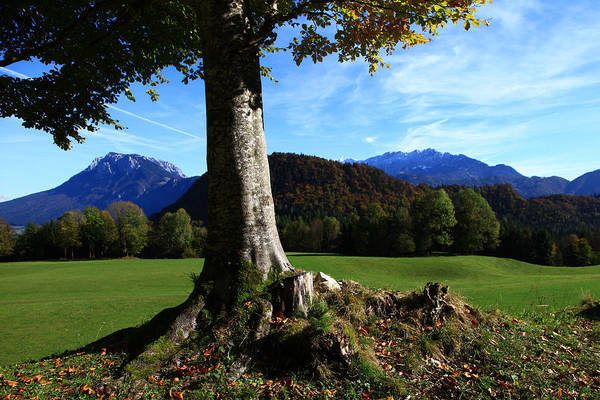 Alpine Tree Poster