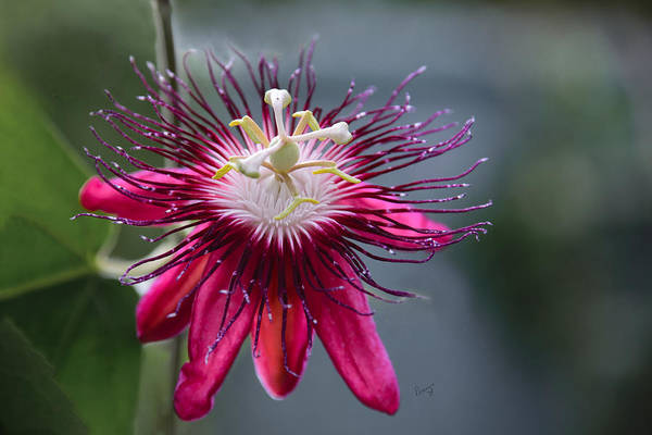 Amazing Passion Flower Poster